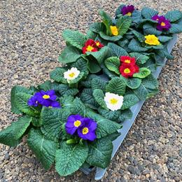 Primrose in 10.5cm pot Tray of 10