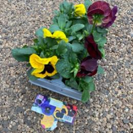 4 assorted 6 packs of Pansies