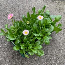 4 assorted 6 packs of Bellis Daisies