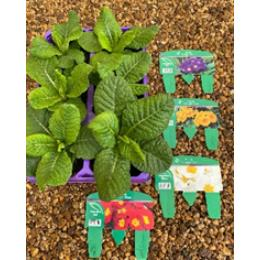4 assorted Jumbo 6 packs of Polyanthus