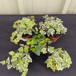 Selection of 5 Ivies in 9cm pots