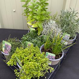 Selection of 8 Herbs in 1l pots