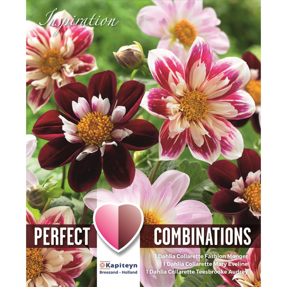 COMBI DAHLIA COLLERETTE RED AND WHITE