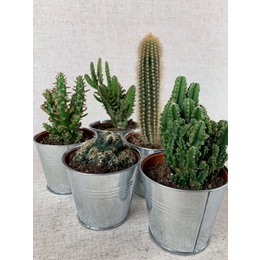 Cacti Selection - A Polhill Selection of 5 plants in 8 cm pots